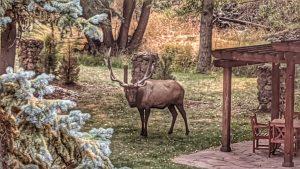 Big Bull Elk by the Pergola
