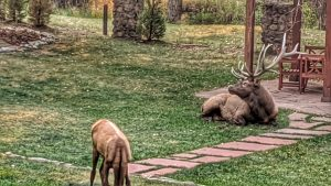 Elk on the Lawn