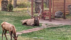 Big Bull Elk Relaxing