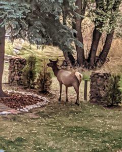 Cow Elk By the Creek