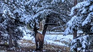 Elk Tearing Up a Tree in the Snow