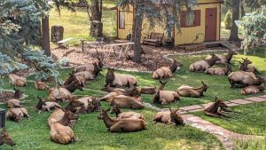 Elk Napping in the Front Yard