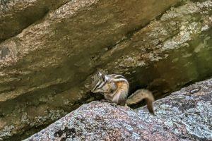 Chipmunk on the Boulders